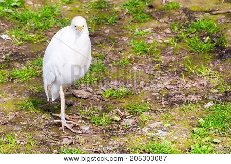 White bird Cattle egret aka Bubulcus ibis looking at camera with place for text