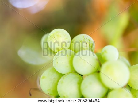 Grapes on the nature . In a park in the nature