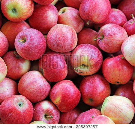 Background Of Beautiful Mature Apples Freshly Harvested In The O