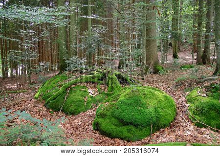 The picture was taken in Germany. The picture shows a thick Bavarian Forest in a summer day.