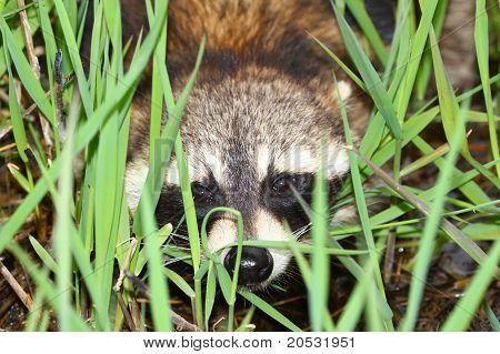 Raccoon Peering Through Vegetation