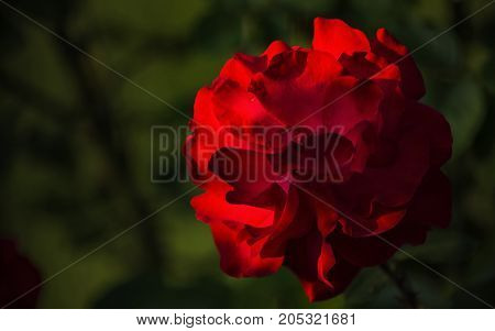 In the luscious green of the fresh foliage of the young bush the tender petals of a large red rose flower.