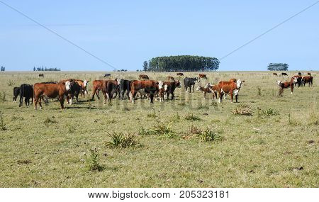 Field With Hereford Cows (bos Taurus)