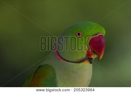 Beautiful Portrait of green parrot close up