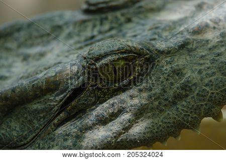 Close Up Of Siamese Crocodile