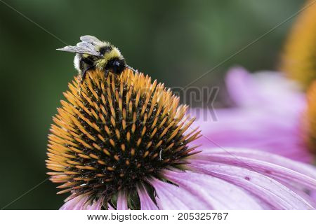 A bee collects nectar on a flower of echinacea macro