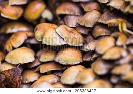 yellow Inedible mushrooms false honey agaric growing on a tree stump