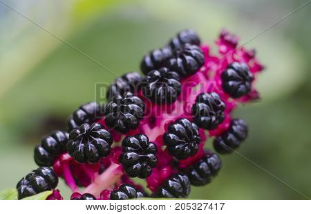 Black Poke weed Phytolacca americana berries. Close-up Natural background