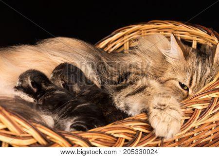 Lovely siberian cat with little kittens in the wicker basket over black background