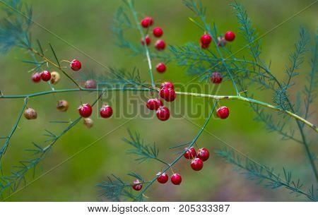 asparagus with red berries . Asparagus densiflorus
