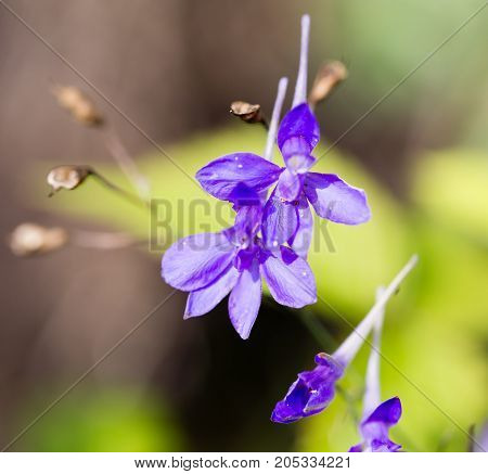blue flower in the garden in the nature