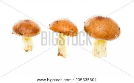 fresh edible mushroom on a white background .