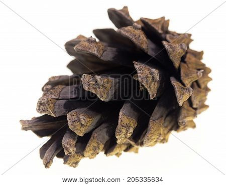 cone with coniferous tree on a white background .