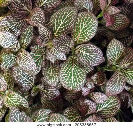 Group of Fittonia plants inside a greenhouse..