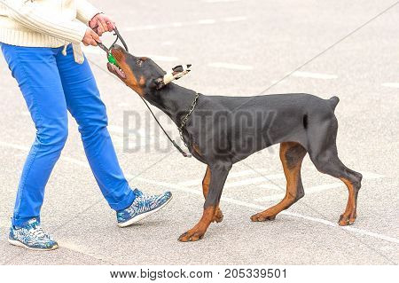 Doberman with his bandaged ears bites the ball in the hands of the owner. Space under the text. 2018 year of the dog in the eastern calendar. Concept: friend, protection, loyalty, vigilance, security
