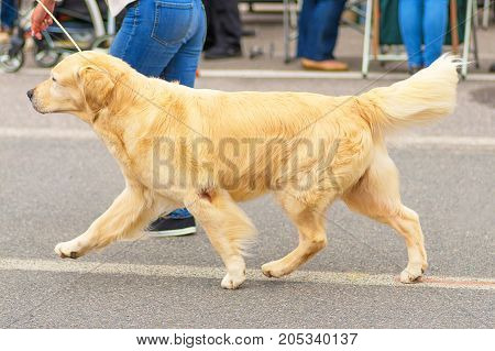 Golden retriever on a leash runs next to the owner, hunting breed of dogs. Space under the text. 2018 year of the dog in the eastern calendar. Concept: friend, dobrata, power, love, loyalty, protection, care