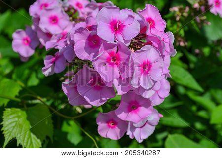 Garden bush with pink little flowers Garden bush with pink little flowers