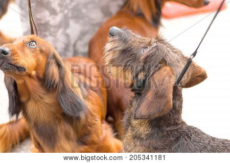 The Terrier dog looks up. Space under the text. 2018 year of the dog in the eastern calendar Concept: parodist dogs, dog friend of man, true friends, rescuers.