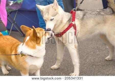 Two dogs are introduced sniffing each other. 2018 year of the dog in the eastern calendar. Concept: cute, home, friend, love, affection, kindness, care