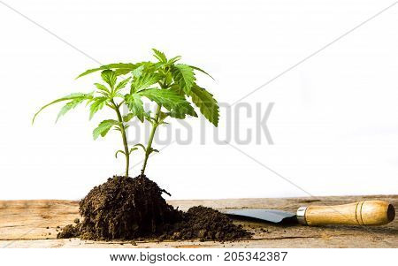 Marijuana Plant Growing From The Ground