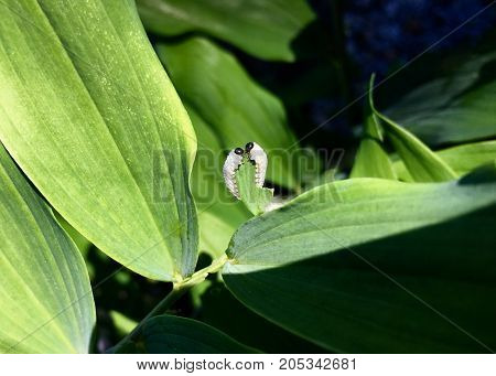 Two larvae of the leaf wasp on salomon`s seal plant