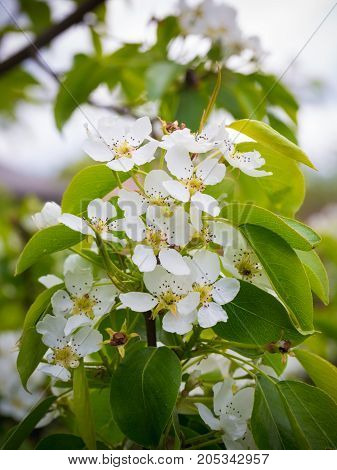 Blossoming Pear Tree. Summer Background. Spring. Flowering Branch