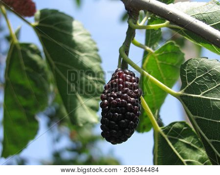 mulberry. a tree growing in the south of Ukraine.