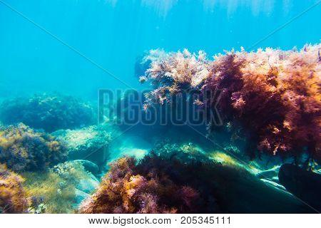 Ocean flora in underwater. Sun rays and red seaweed on stones. Blue water in sea.