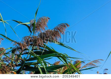 Reed and blue sky background, nature landscape