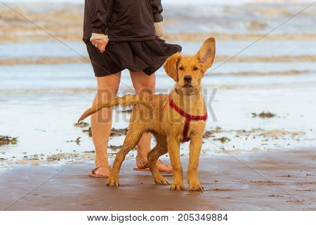 Golden labrador puppy on beach with ear raised. Four month old dog enjoying freedom by the seaside on the British coast