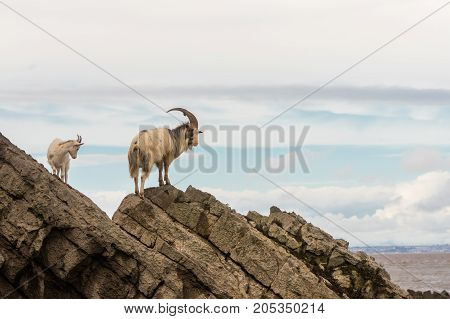 Pair of feral mountain goat on rocks above sea. Long-haired billy and nanny goats at Brean Down in Somerset part of a wild herd