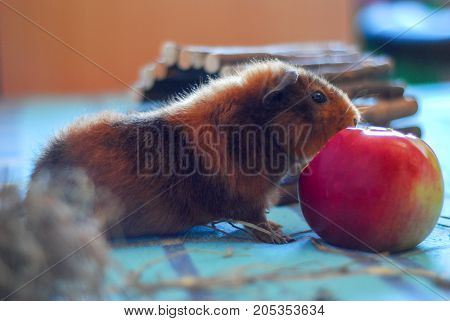 Pets. Homemade hamster. The guinea pig. A hamster is eating an apple.