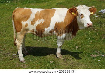 Cow (kalf) grazing on a green grass field