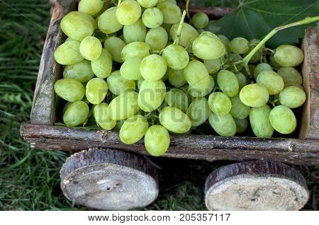 Big clusters of ripe green grapes in a wooden cart