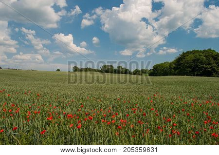 field with flowers in Denmark on a sunny day