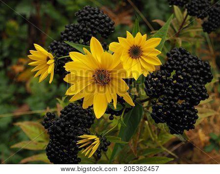 yellow Jerusalem artichoke on the background of black berries