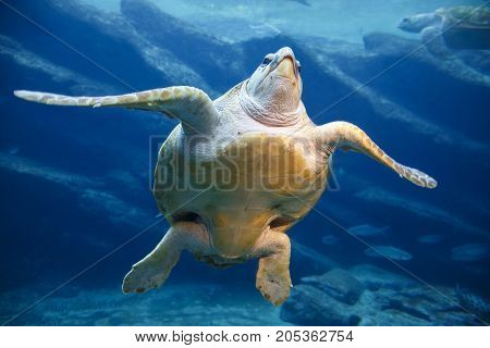 A large leatherback turtle swimming gracefully in the blue water