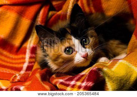 Little Kitten On A Rug Studio Light