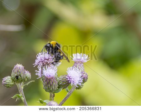 Bumblebee on thistle flower in natural green ambiance