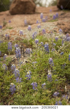 Texas Bluebonnets (Lupinus texensi) growing along the roadside. The Bluebonnet is the state flower of Texas.