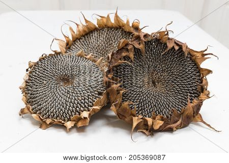 Freshly harvested and dried sunflower heads on white background wooden rustic table, seeds ready for harvesting with copy space