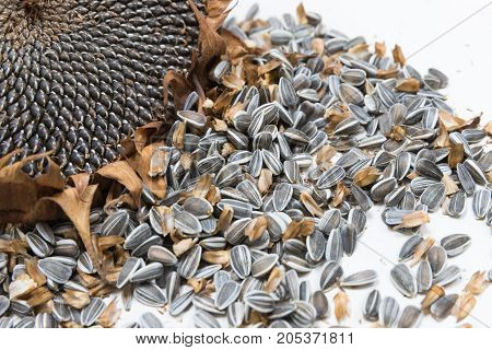 Single Freshly harvested and dried sunflower head and seeds on white background painted wooden rustic table with copy space