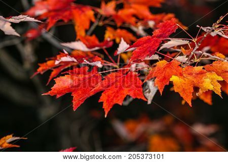 Close up of orange and red maple leaves