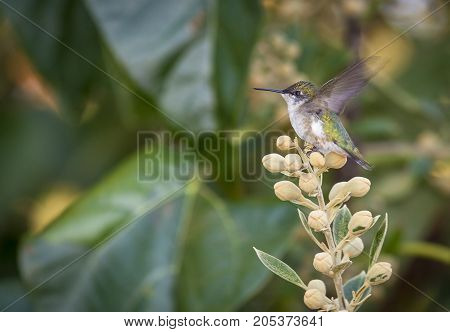 A female Ruby-throated Hummingbird (Archilochus colubris) stretches her wings before taking flight.