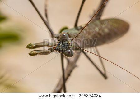 Head Of European Praying Mantis