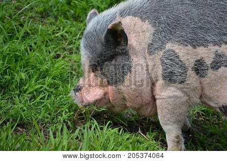 potbellied pigs are much fatter than other breeds