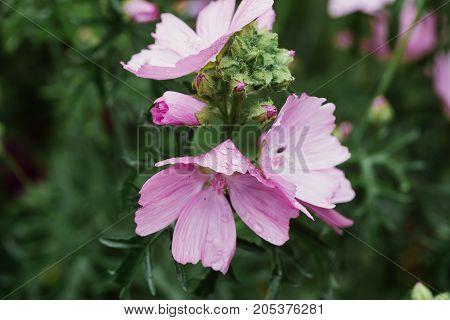 garden mallow flowers close-up. horizontal day shot