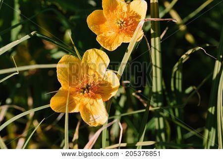 wild yellow flower close-up. horizontal day shot
