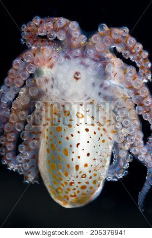 A paralarval octopus clings to my dome port while out hunting at night
