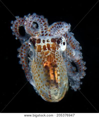A paralarval octopus hunts at night off the coast of Kona, Hawaii